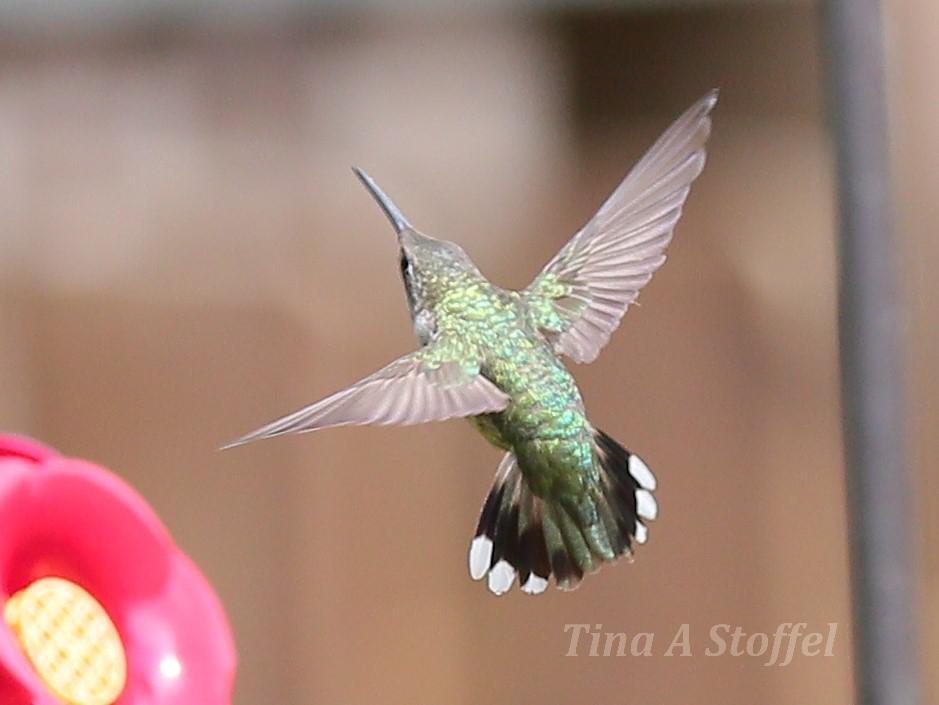Flying Hummingbird